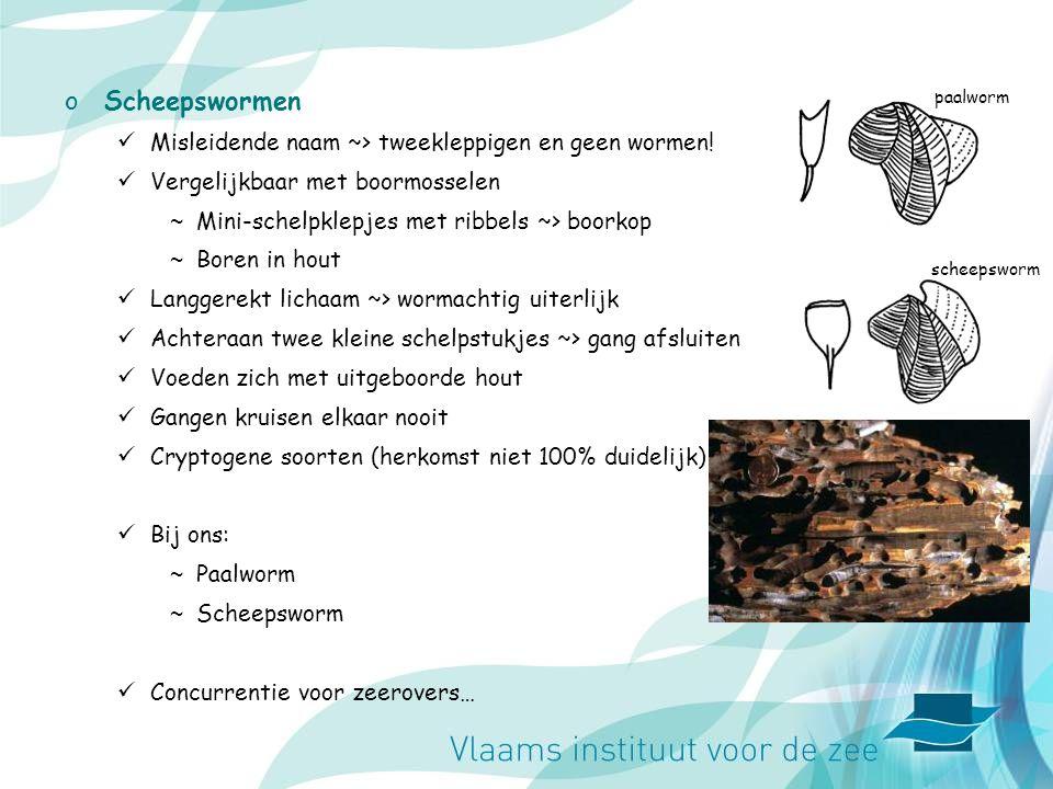 Scheepswormen Misleidende naam ~> tweekleppigen en geen wormen!