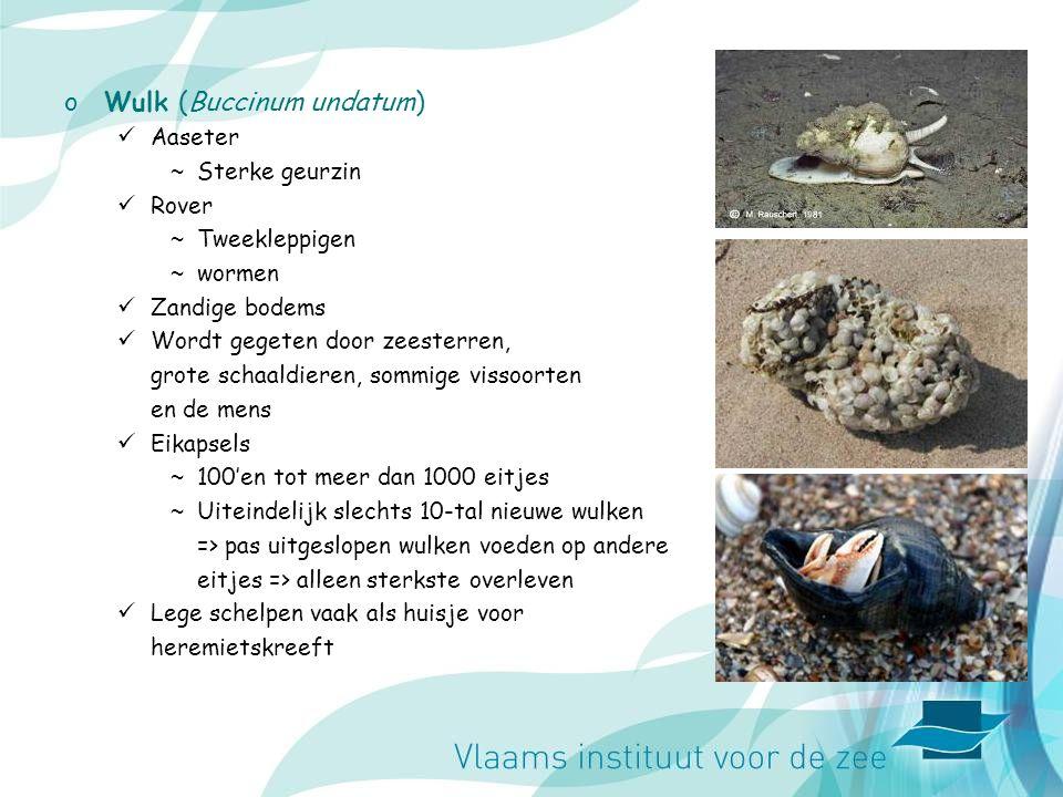 Wulk (Buccinum undatum)