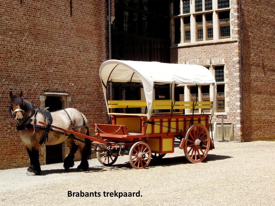 Brabants trekpaard.