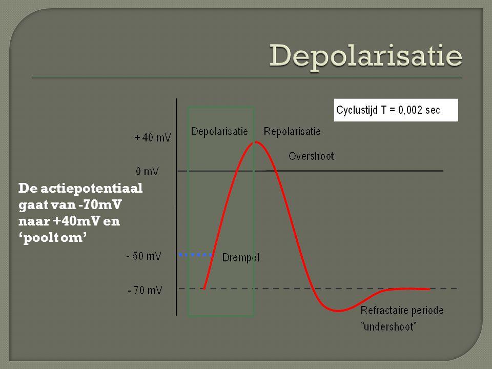 Depolarisatie De actiepotentiaal gaat van -70mV naar +40mV en 'poolt om'