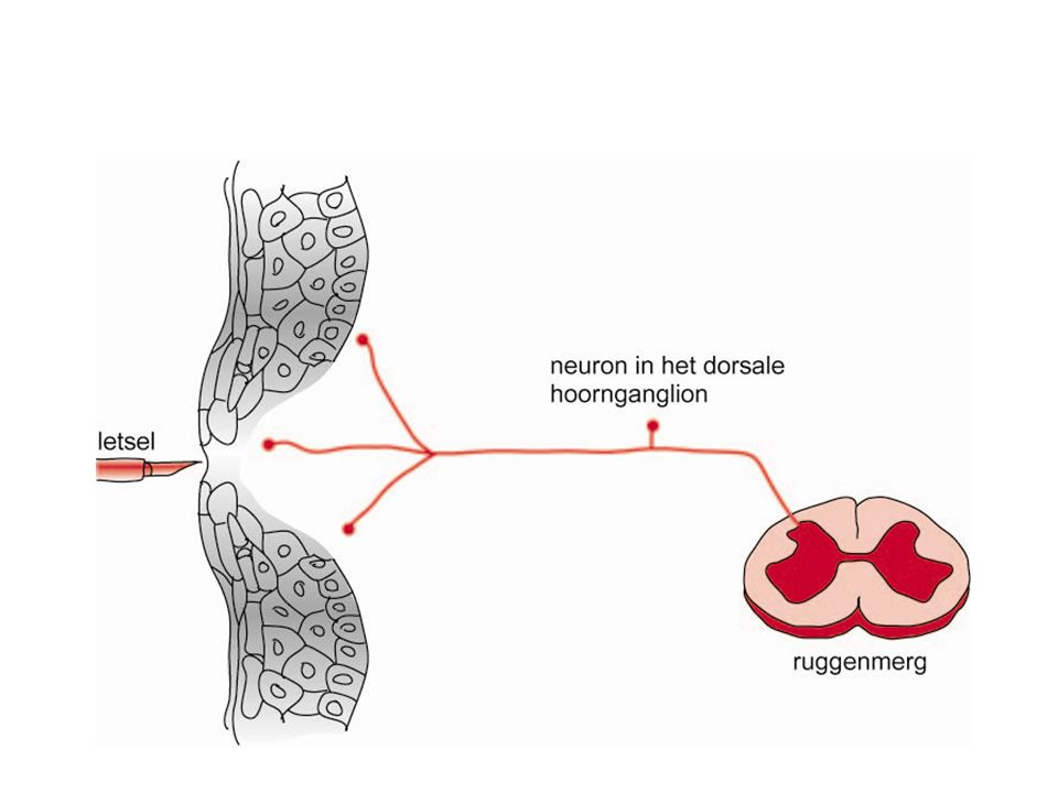Lesion = letsel Dorsal root ganglion neuron = zenuwcel die via de achteringang naar het ruggenmerg gaat.
