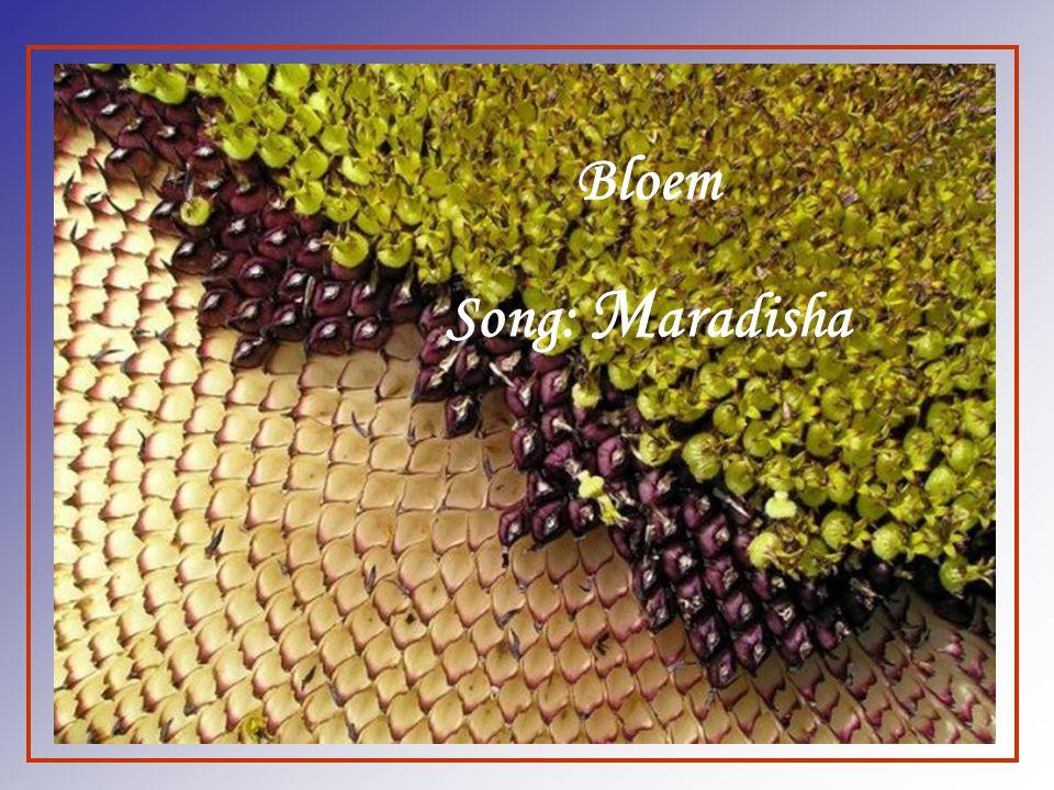 Bloem Song: Maradisha
