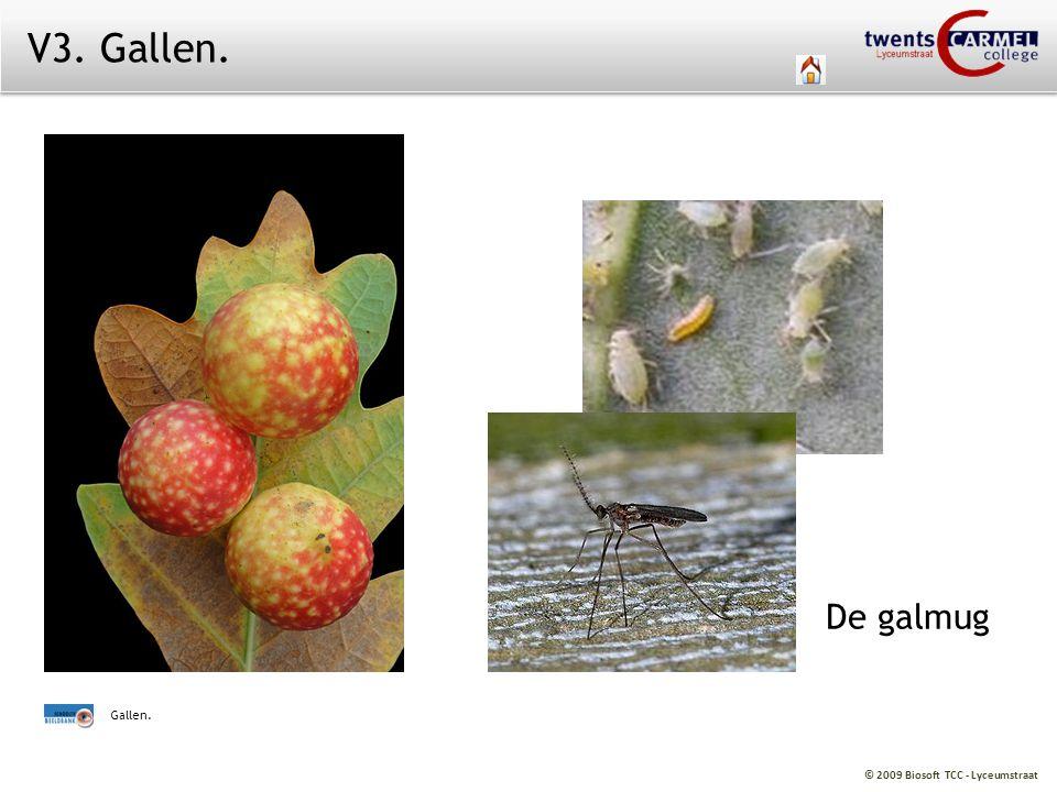 V3. Gallen. De galmug Gallen.