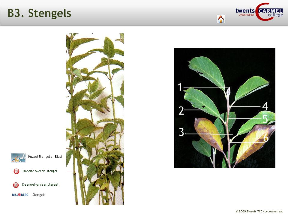 B3. Stengels Puzzel Stengel en Blad Theorie over de stengel