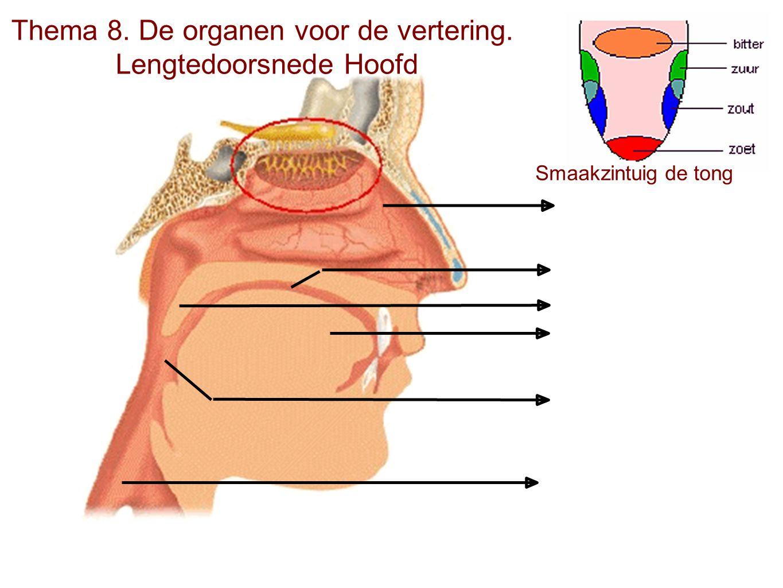 Thema 8. De organen voor de vertering. Lengtedoorsnede Hoofd