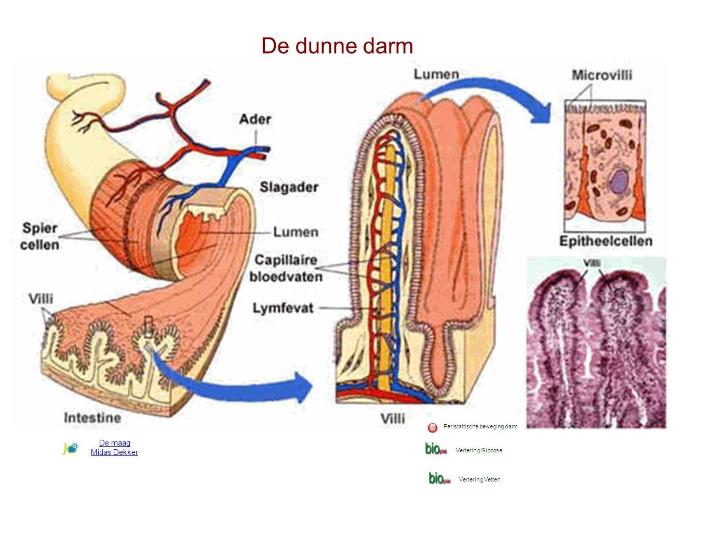 De dunne darm De maag Midas Dekker Peristaltische beweging darm