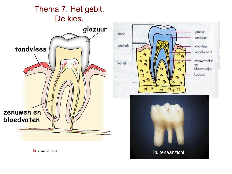 Thema 7. Het gebit. De kies. De bouw van een tand Buitenaanzicht