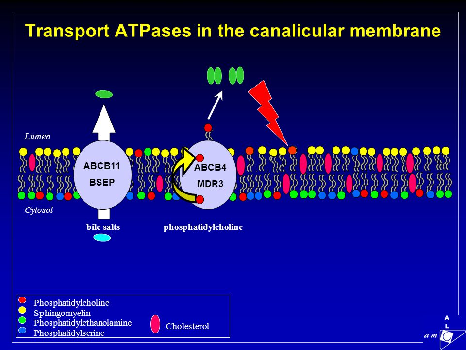 Transport ATPases in the canalicular membrane