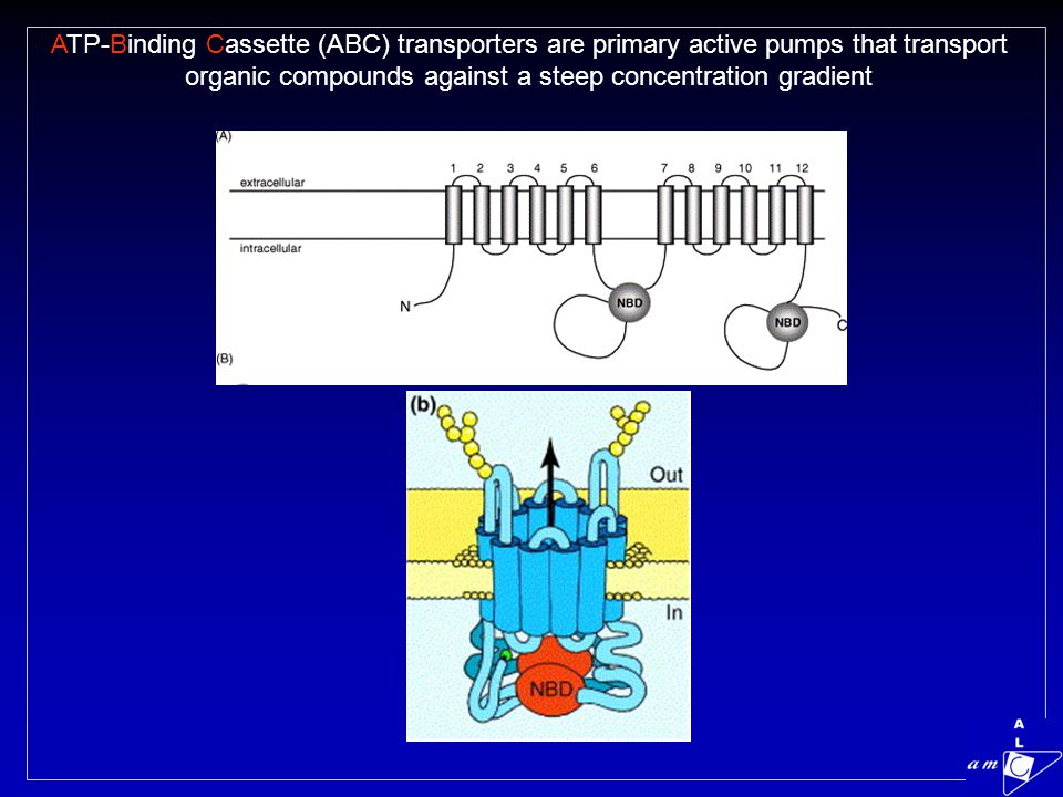 ATP-Binding Cassette (ABC) transporters are primary active pumps that transport organic compounds against a steep concentration gradient