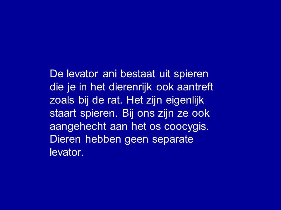 De levator ani bestaat uit spieren die je in het dierenrijk ook aantreft zoals bij de rat.