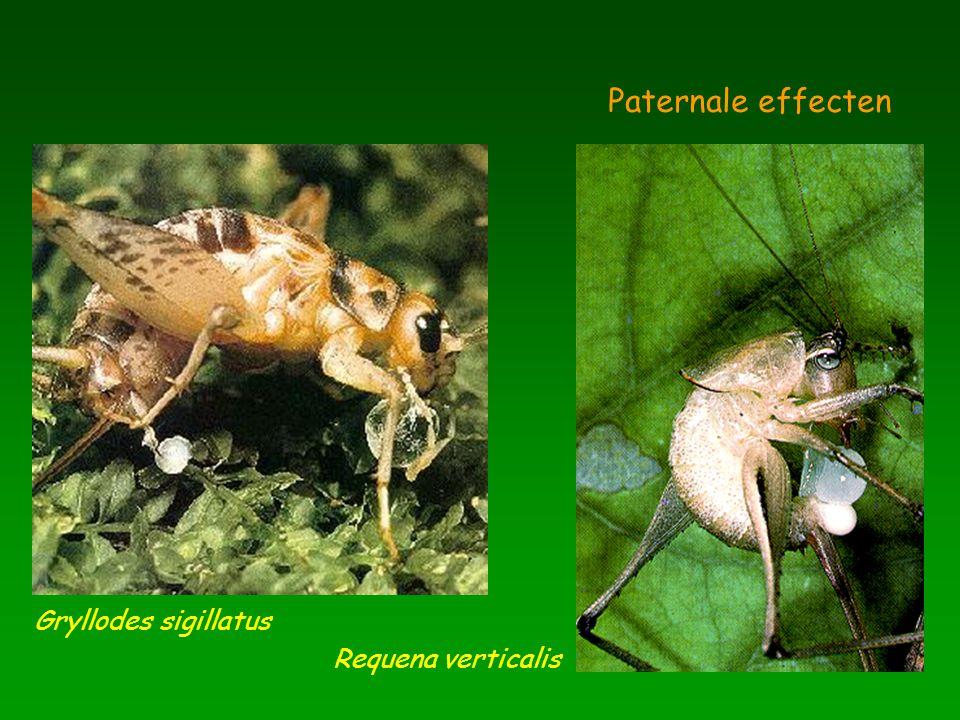 Paternale effecten Gryllodes sigillatus Requena verticalis