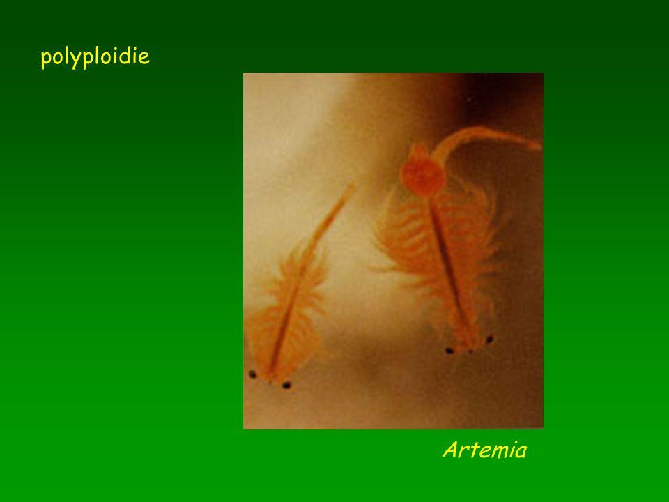 polyploidie Artemia
