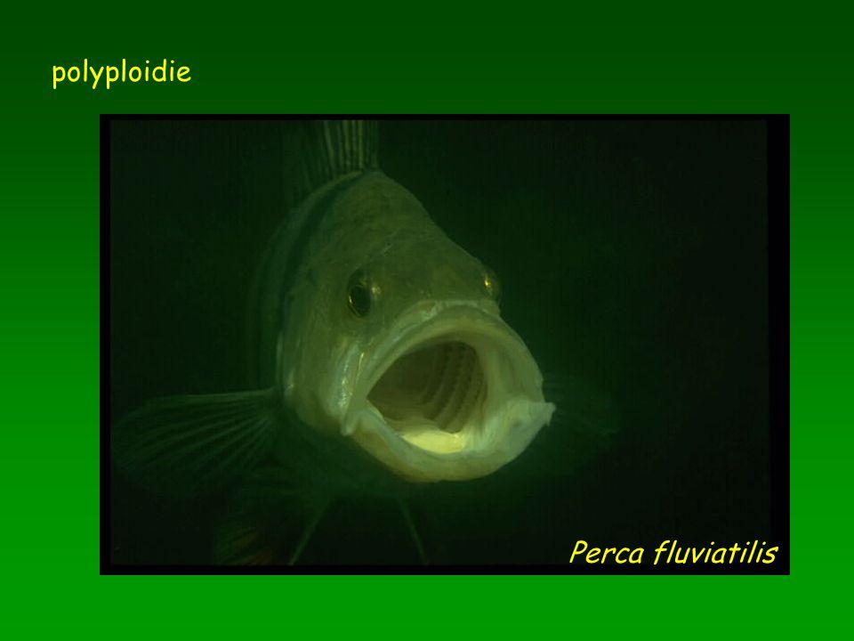 polyploidie Perca fluviatilis