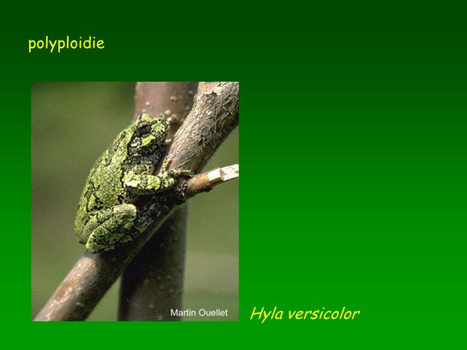 polyploidie Hyla versicolor