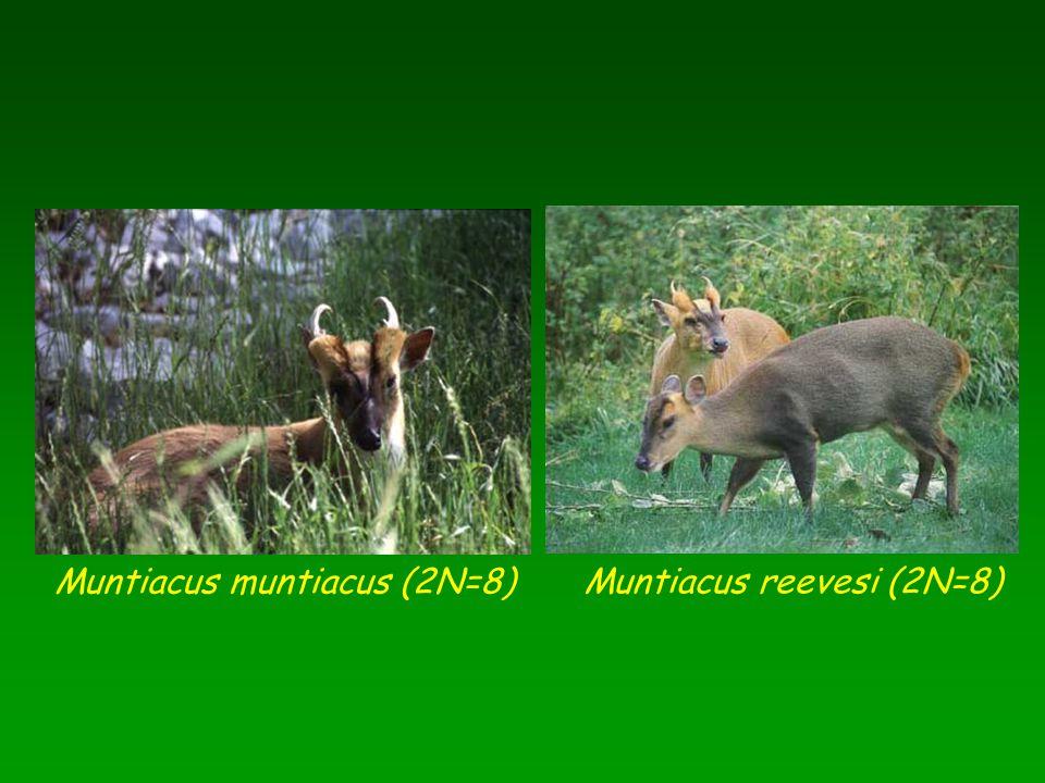 Muntiacus muntiacus (2N=8)