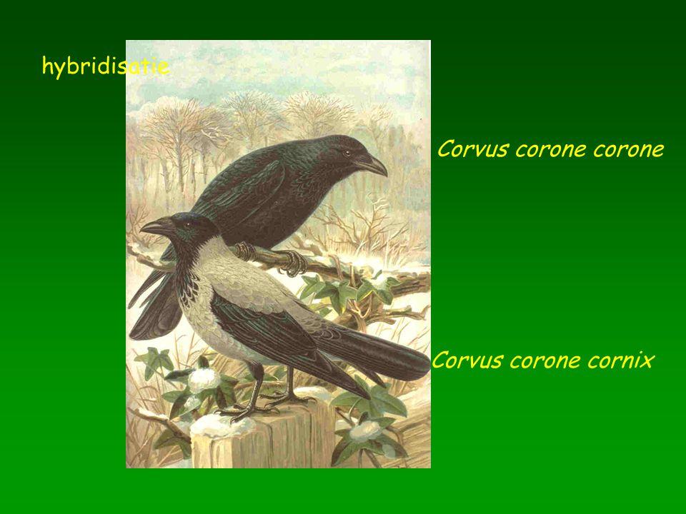 hybridisatie Corvus corone corone Corvus corone cornix