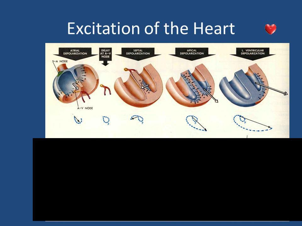 Excitation of the Heart