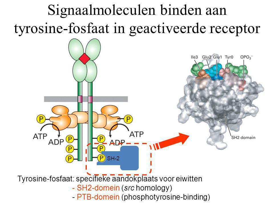 Signaalmoleculen binden aan tyrosine-fosfaat in geactiveerde receptor