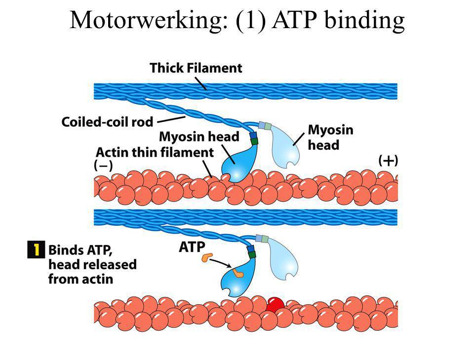 Motorwerking: (1) ATP binding