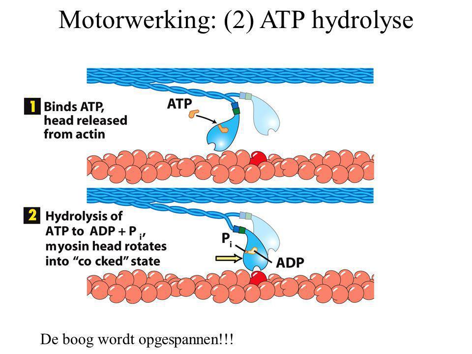 Motorwerking: (2) ATP hydrolyse
