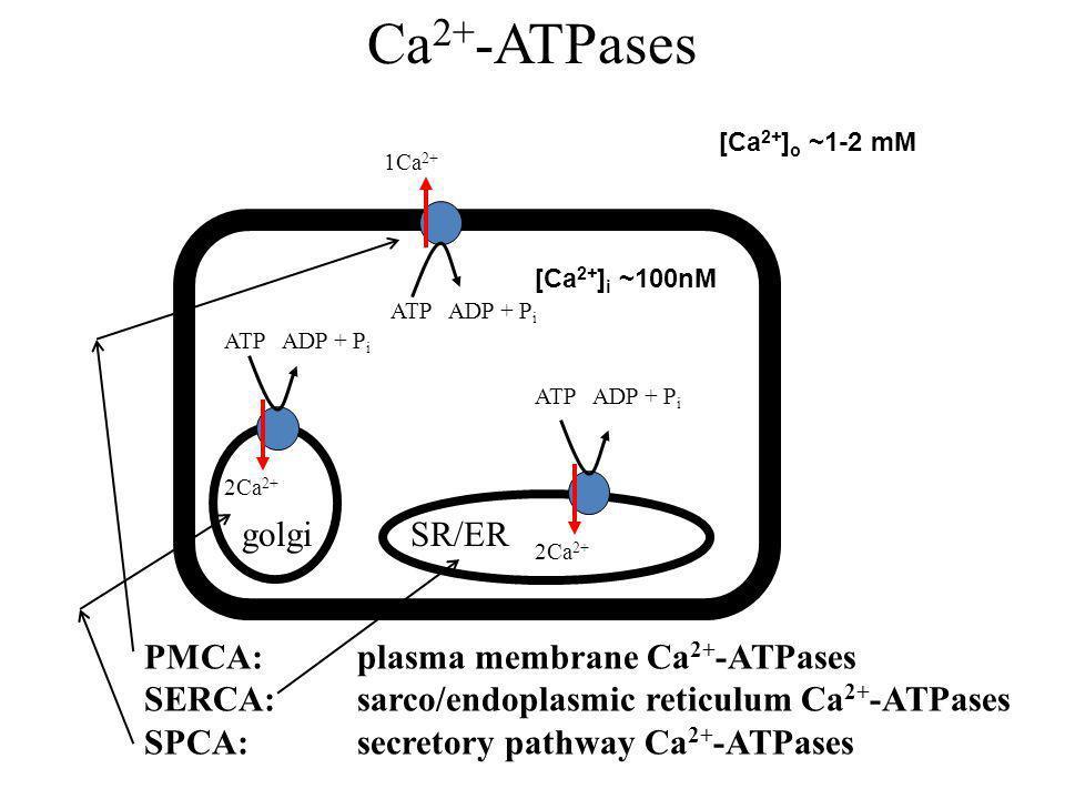 Ca2+-ATPases golgi SR/ER PMCA: plasma membrane Ca2+-ATPases