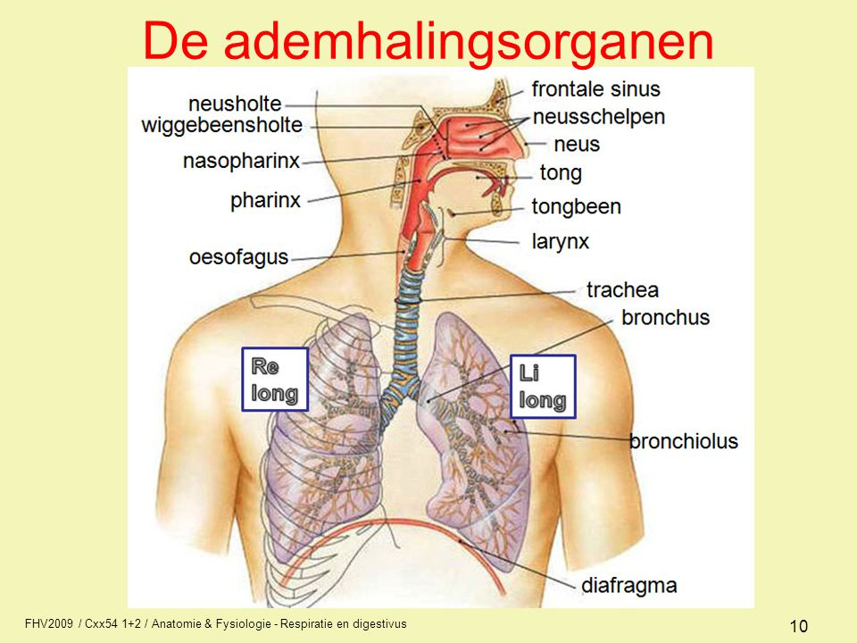 De ademhalingsorganen