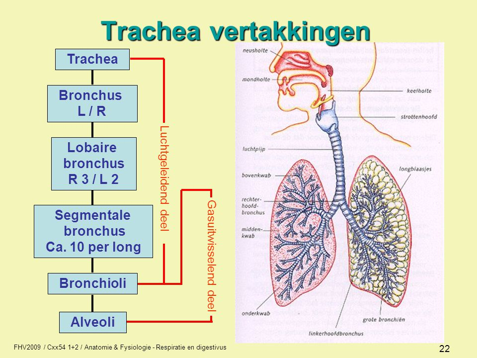 Trachea vertakkingen L / R bronchus R 3 / L 2 Segmentale