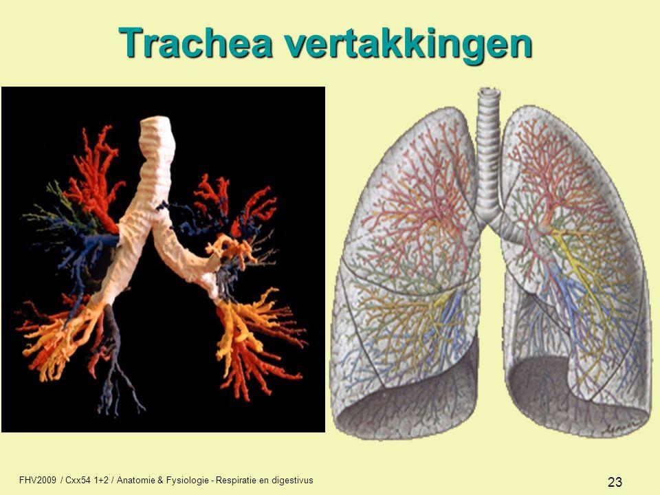Trachea vertakkingen FHV2009 / Cxx54 1+2 / Anatomie & Fysiologie - Respiratie en digestivus
