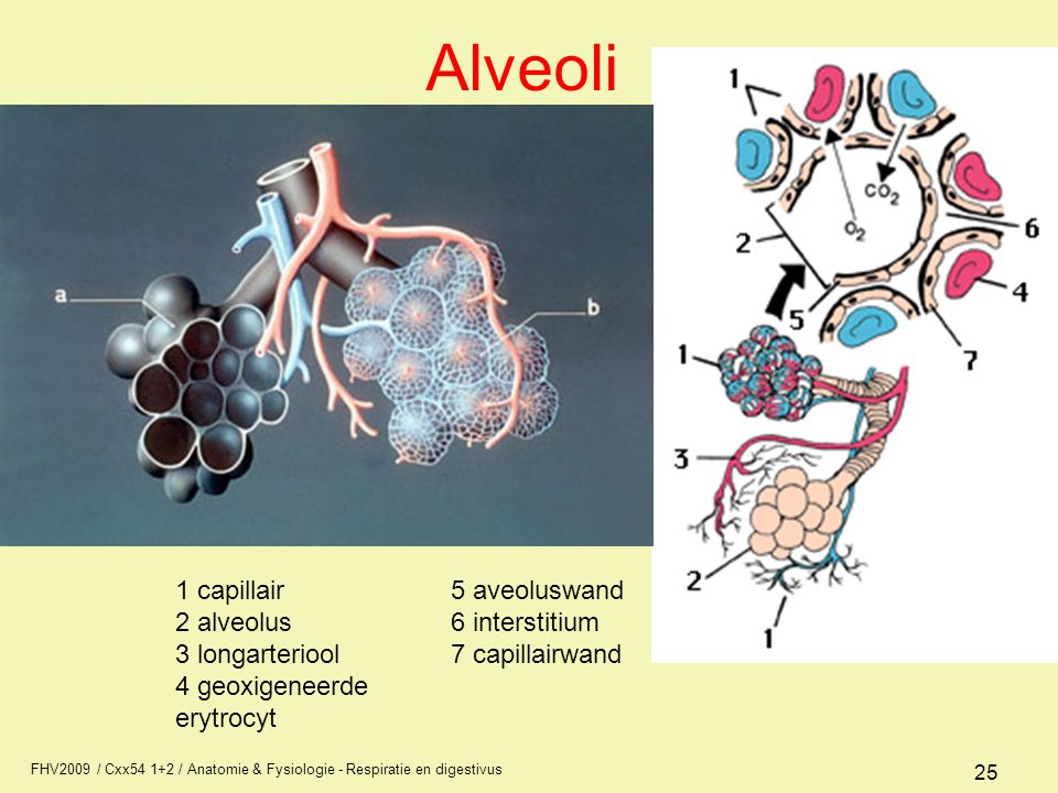 Alveoli 1 capillair 2 alveolus 3 longarteriool