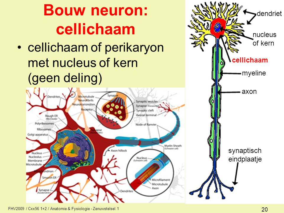Bouw neuron: cellichaam