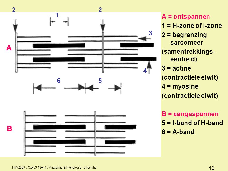 A B 2 2 1 A = ontspannen 1 = H-zone of I-zone 2 = begrenzing sarcomeer