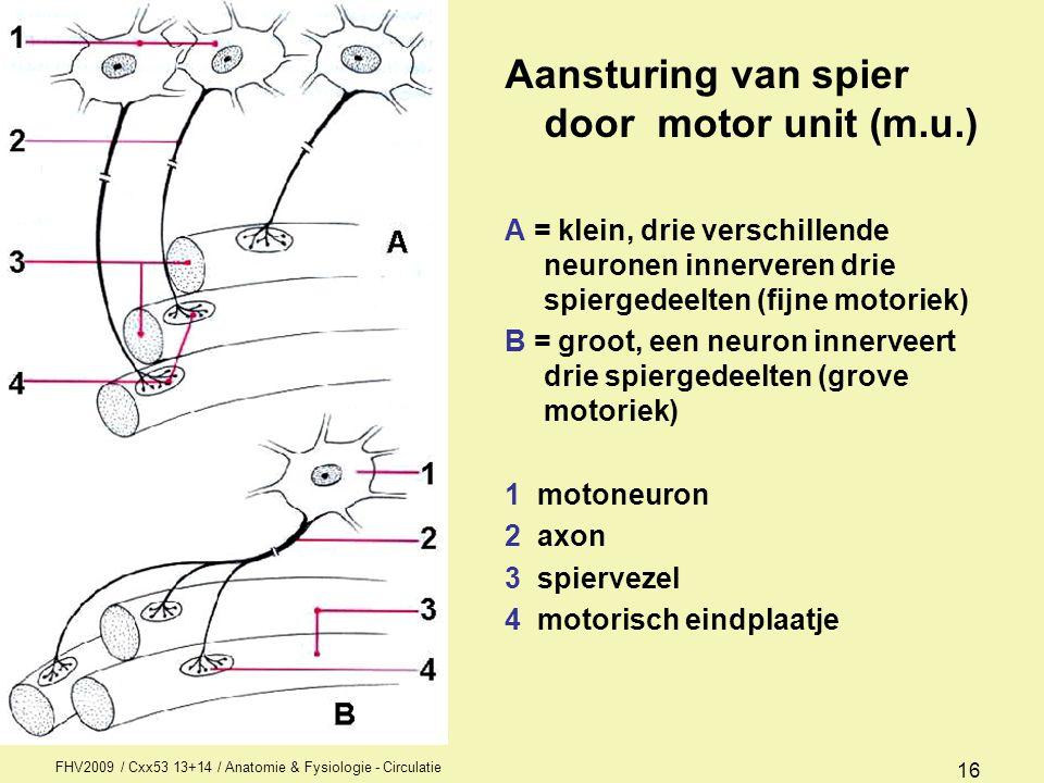 Aansturing van spier door motor unit (m.u.)