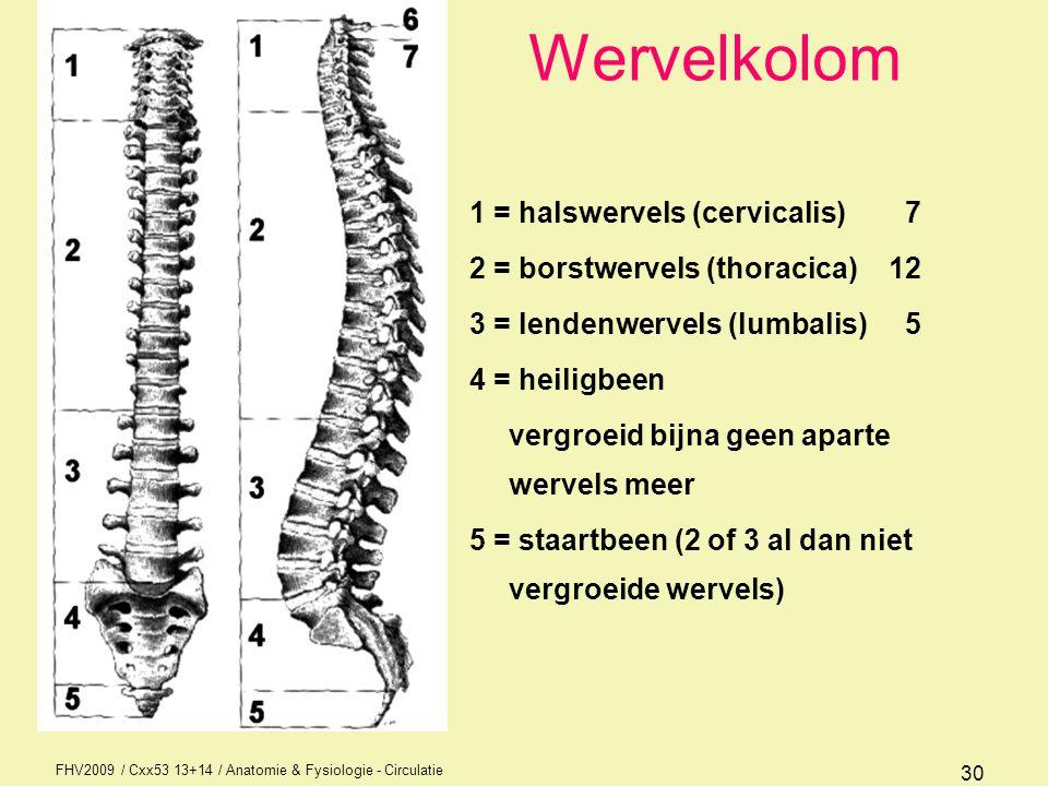 Wervelkolom 1 = halswervels (cervicalis) 7