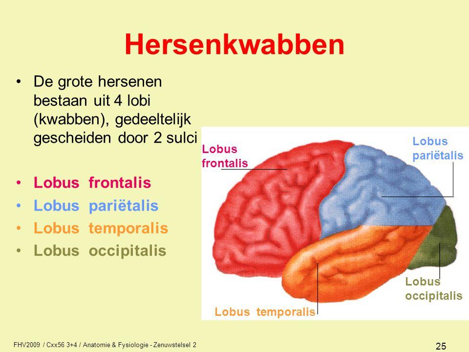 Hersenkwabben De grote hersenen bestaan uit 4 lobi (kwabben), gedeeltelijk gescheiden door 2 sulci.