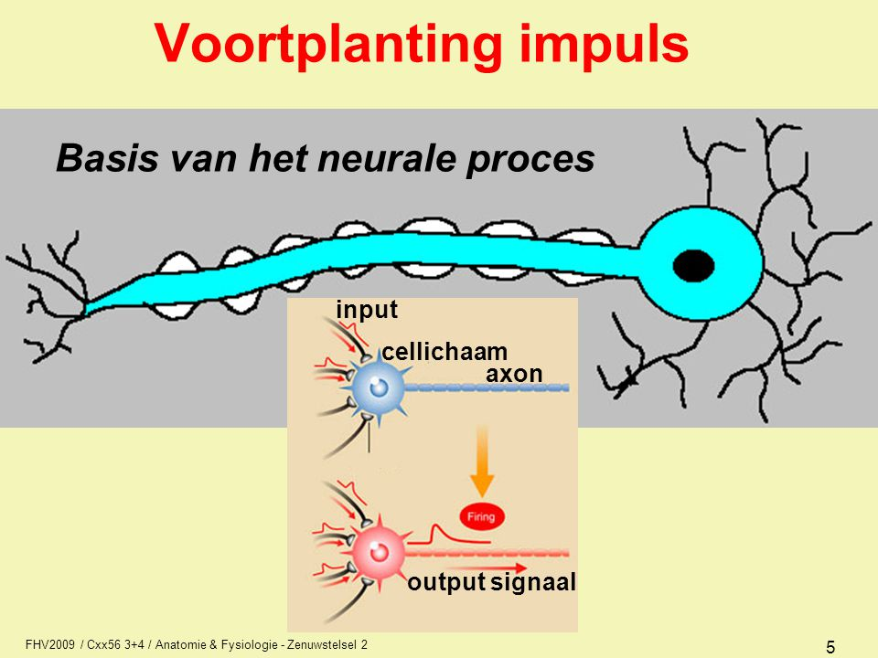 Voortplanting impuls Basis van het neurale proces input cellichaam
