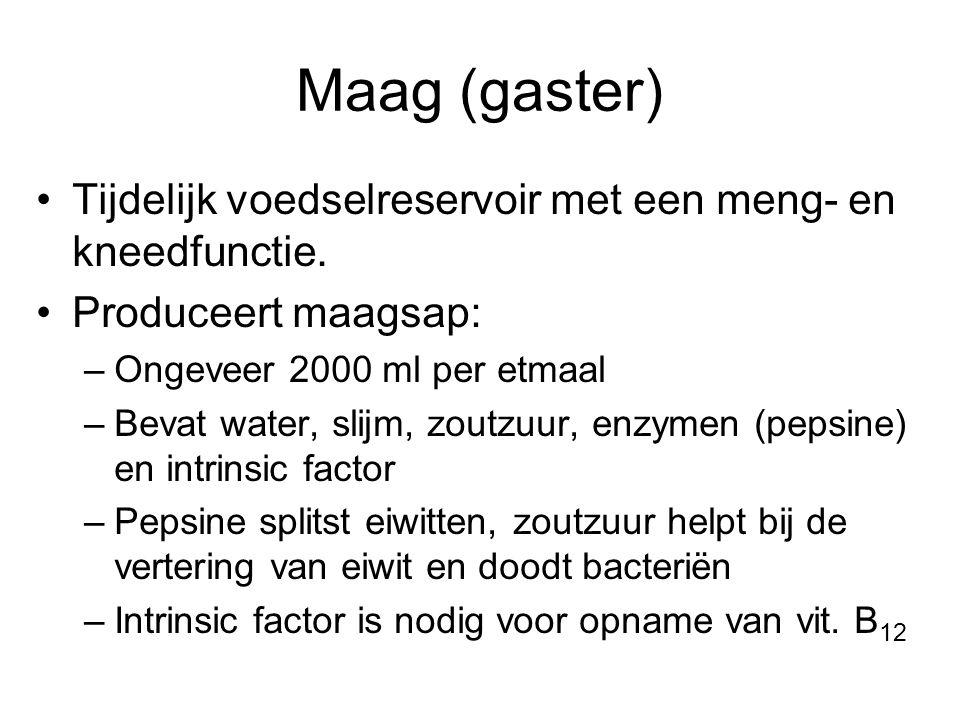 Maag (gaster) Tijdelijk voedselreservoir met een meng- en kneedfunctie. Produceert maagsap: Ongeveer 2000 ml per etmaal.