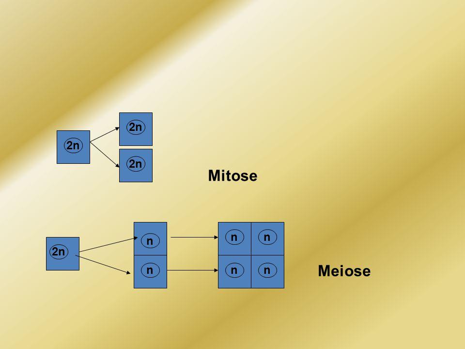 2n 2n 2n Mitose n n n 2n Meiose n n n