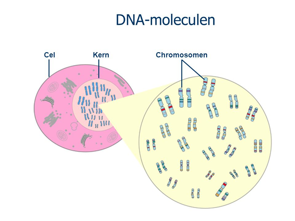 DNA-moleculen Cel Kern Chromosomen