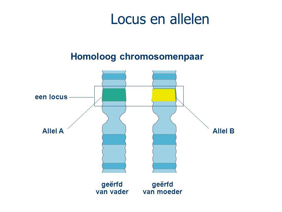 Locus en allelen Homoloog chromosomenpaar een locus Allel A Allel B