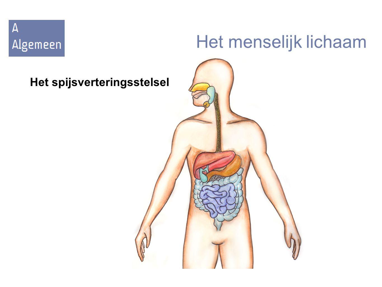 Het menselijk lichaam Het spijsverteringsstelsel