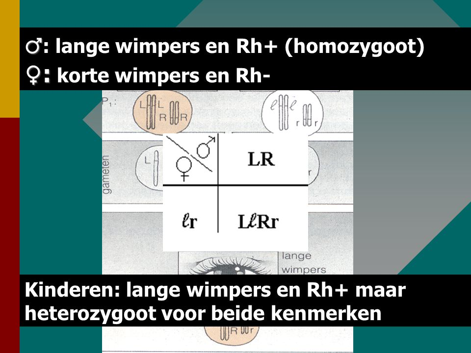 ♂: lange wimpers en Rh+ (homozygoot) ♀: korte wimpers en Rh-