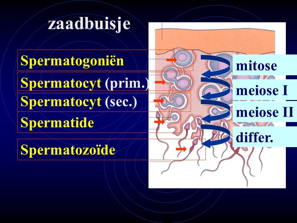 zaadbuisje Spermatogoniën  mitose Spermatocyt (prim.)  meiose I
