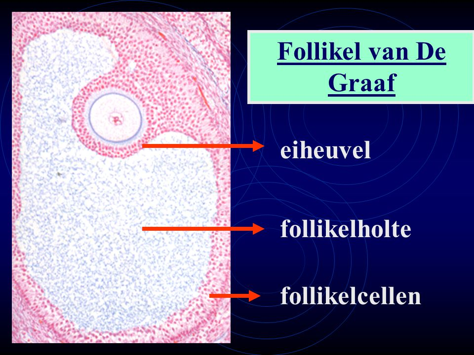 Follikel van De Graaf eiheuvel follikelholte follikelcellen