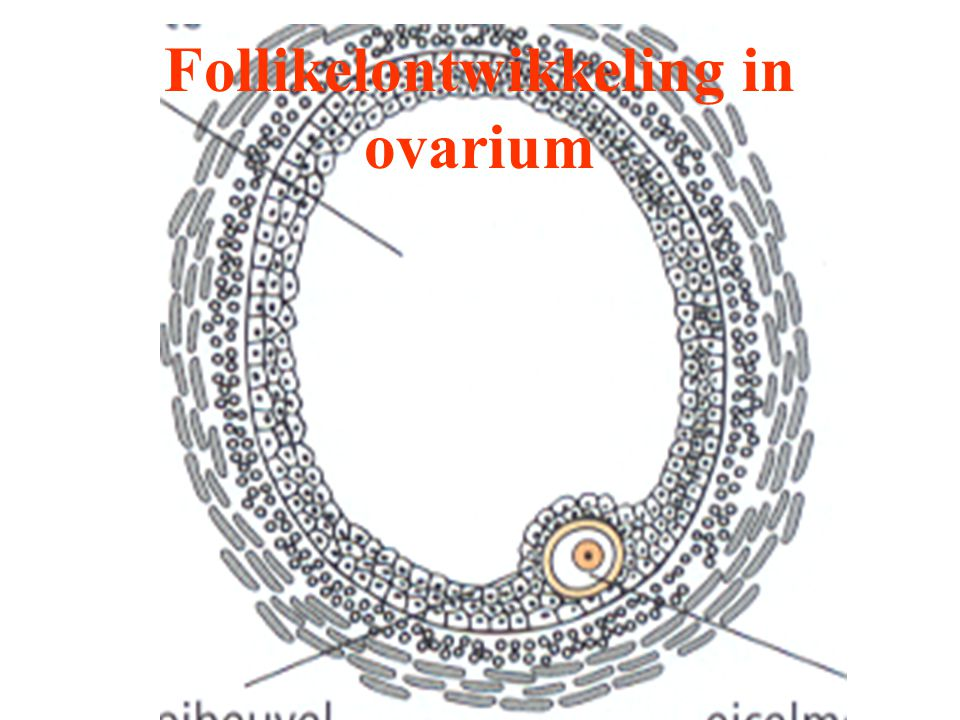 Follikelontwikkeling in ovarium
