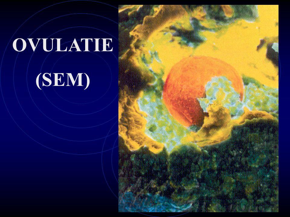 OVULATIE (SEM)