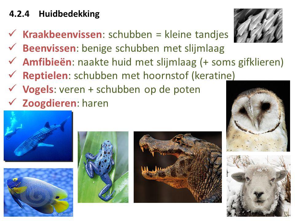 Kraakbeenvissen: schubben = kleine tandjes