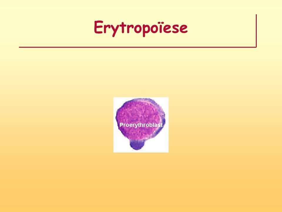 Erytropoïese