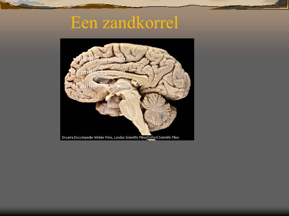 Een zandkorrel 100.000 neuronen 2 miljoen axonen 1 miljard synapsen