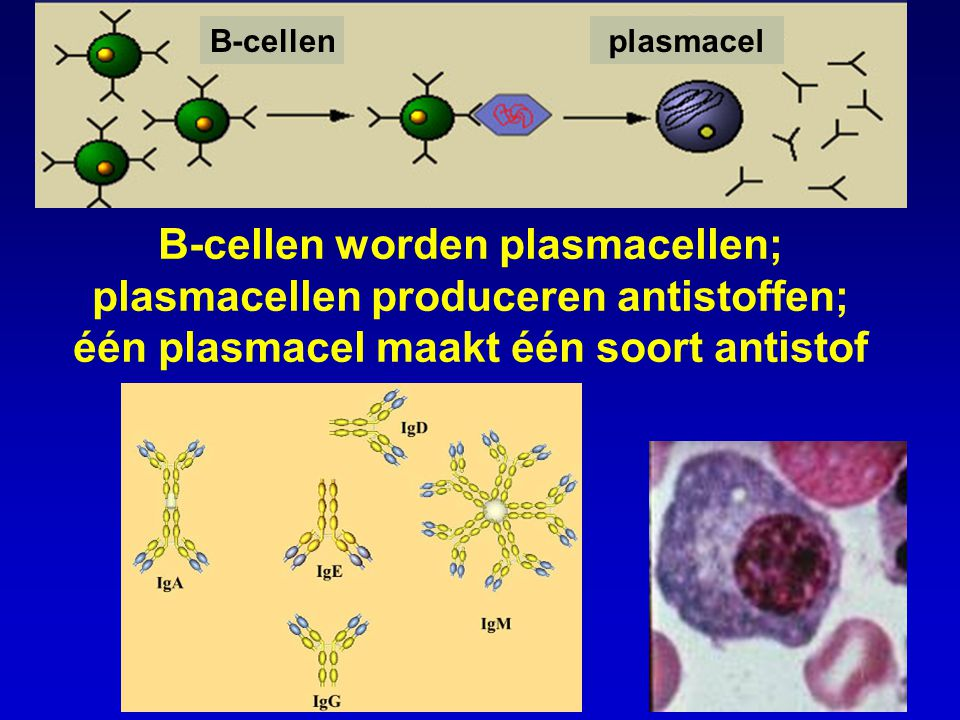 B-cellen plasmacel.