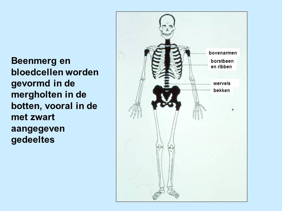 bovenarmen Beenmerg en bloedcellen worden gevormd in de mergholten in de botten, vooral in de met zwart aangegeven gedeeltes.